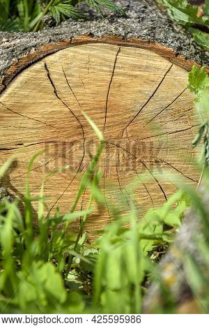 Frontal Section Of Walnut Tree Log Lying On Green Grass. Annual Rings And Cracks Are Visible On Surf