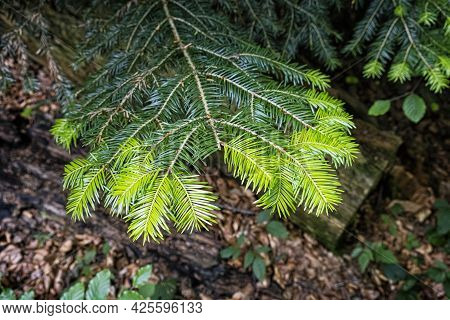 This Year's Spruce Needles, Primeval Forest Stuzica, National Park Of Poloniny, Slovak Republic. Sea