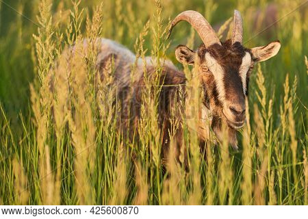 A Lone Goat In The Tall Grass In The Rays Of The Setting Sun.