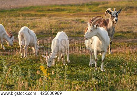 A Small Herd Of Goats Is Grazing In A Meadow. An Adult Goat Is Watching A Kid.