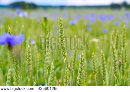 Wheat And Cornflowers In A Farmers Field
