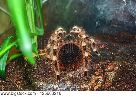 A Huge Spider In The Terrarium. Pet Or Exotic.
