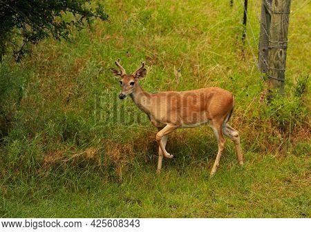 Four Point Buck With Velvet On His Rack Walks Through The Woods