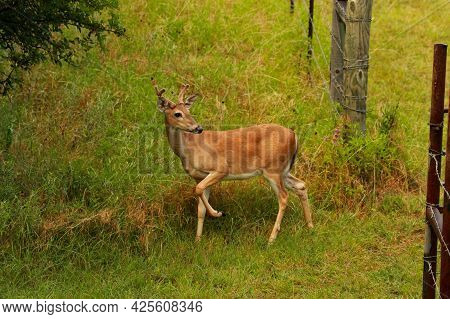 White-tailed Deer, A Four Point Buck, With Velvet On His Rack Walks Through The Gate And Into The Wo