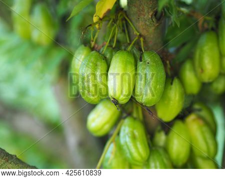 Averrhoa Bilimbi, Oxalidaceae, Cucumber Tree Green Fruit