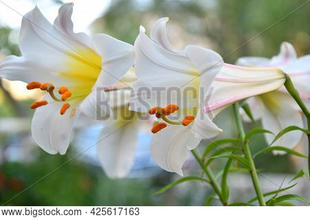 Lily (lat. Lílium) Itis A Genus Of Plants In The Lilley (lat. Liliaceae) White