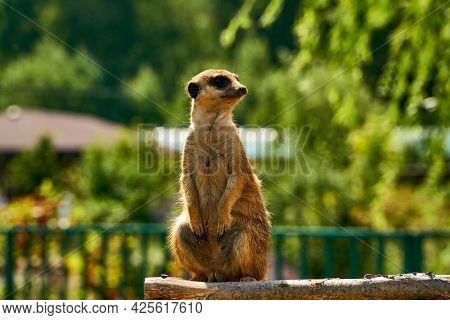 Meerkat Rised On The Post And Looks Aside. The Meerkat Stands On Its Hind Legs.