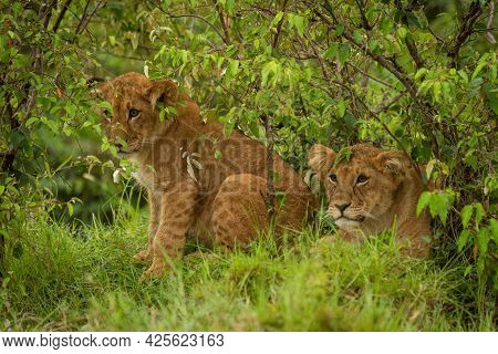 Two Lion Cubs Sit And Lie Together