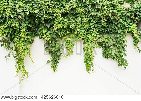 Ivy twig with small green leaves isolated on white wall