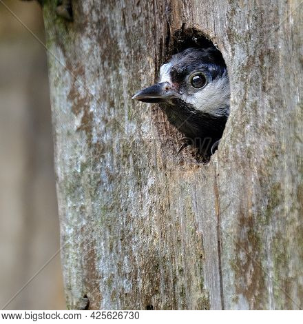 Great Tit Looking Out Of Wall Mounted Nesting Box..