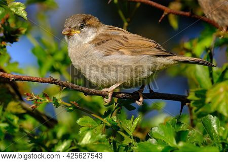 The House Sparrow Is A Bird Of The Sparrow Family Passeridae, Found In Most Parts Of The World. It I