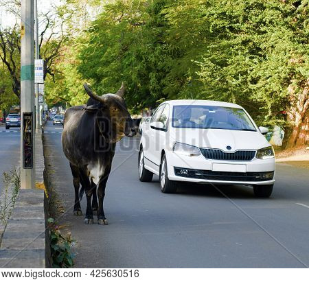 Nashik, Maharashtra, India - February 27 2021: Cow Standing In The Middle Of A Road Near The Divide