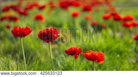 Red Lush Tulips On A Background Of Green Grass. Field Of Red Tulips. Nature Flower Background.