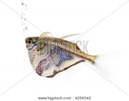 Common hatchetfish - Gasteropelecus sternicla in front of a white background poster