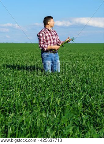 a man as a farmer poses in a field, dressed in a plaid shirt and jeans, checks and inspects young sprouts crops of wheat, barley or rye, or other cereals, a concept of agriculture and agronomy