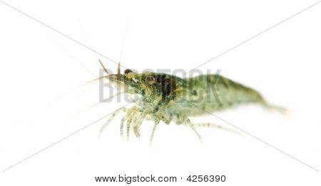 Cherry Shrimp - Neocaridina Heteropoda