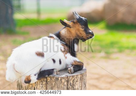 One Cute Baby Goat On A Farm Sunny Day Green Grass.a Little Sleeping Baby Goat At Farm Lie On A Stum