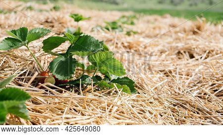 Growing Strawberries, Use Straw To Protect The Fruit. Straw Around Strawberry Plants On Strawberry F