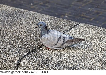 A Feral Pigeon (columba Livia) Sitting On Top Of A Wall In Bristol, Uk