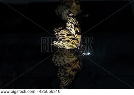 Ilarge Tropical Butterfly Idea Leuconoe On A Black Background Of Glass With Reflection . Butterfly D