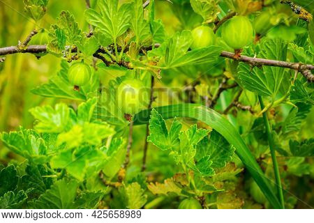 Gooseberry Shrub With Ripening Berries Close-up. Ribes Uvacrispa Is A Food And Medicinal Plant, Has