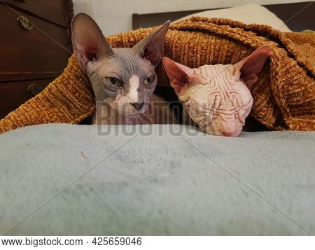 Cats Relaxing Under A Orange Blanket. Hairless Cat Sphynx Pets