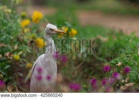 The Cattle Egret Is A Cosmopolitan Species Of Heron Found In The Tropics, Subtropics, \nand Warm-tem