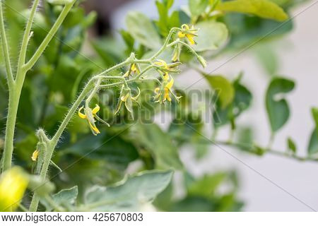 Flowers On Bush Tomatoes. Tomato Yellow Blossom. Flowers Of Tomato On The Seedling. Farmer Field Wit