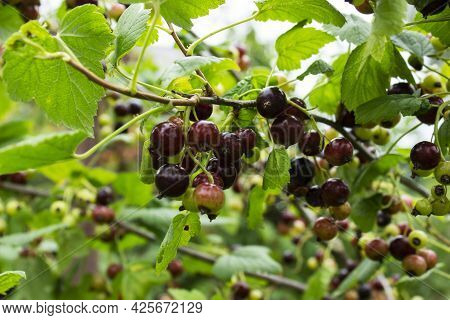 Ripe Black Currant On A Branch With Green Leaves. On A Sunny Summer Day.