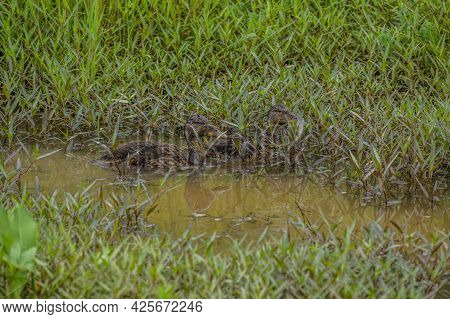Two Almost Grown Ducklings Swimming Together Covered With Mud From Forging In The Shallow Muddy Wate