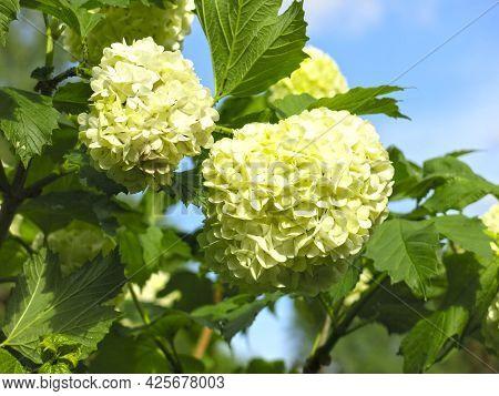 Paniculate Hydrangea (hydrangea Paniculata) Blooms In Summer With White Flowers In The Garden, Survi