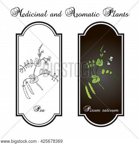Fresh Green Pea Pisum Sativum , Vegetable And Forage Crop. Vector Illustration Of Legumes