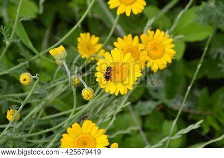 Yellow Flowers Of Cota Tinctoria Plants.golden Marguerite (anthemis Tinctoria) In Meadow
