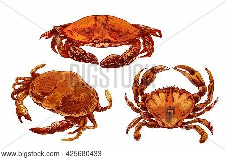 Crab In Different Pose. Vintage Hatching Vector Color Illustration. Hand Drawn Design In A Graphic I