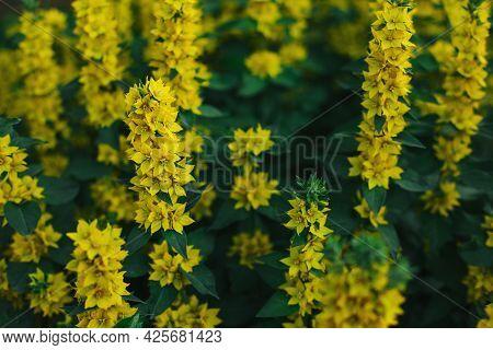 Beautiful Yellow Flowers Of Loosestrife (moneywort) In A Summer Garden. Selective Focus.