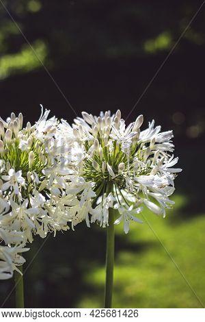 Beautiful White Flowers Of Allium In A Summer Garden. Selective Focus.