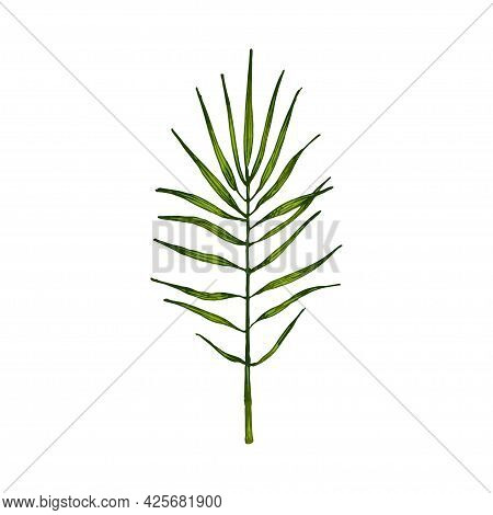 Chamaedorea Green Fresh Leaf. Vintage Vector Hatching Color Hand Drawn Illustration Isolated On Whit