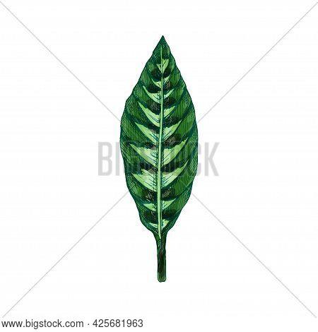 Calathea Warscewiczii Green Fresh Leaf. Vintage Vector Hatching Color Hand Drawn Illustration Isolat