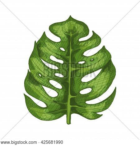 Monstera Green Fresh Leaf. Vintage Vector Hatching Color Hand Drawn Illustration Isolated On White B