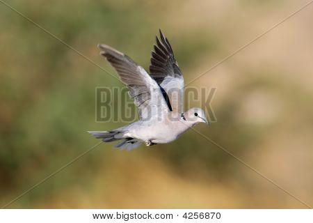 Cape Turtle Dove In Flight