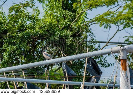 Azure-winged Magpie Perched On Metal Pole With Trees In Background.