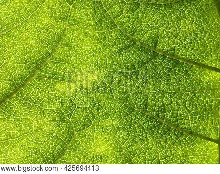 The Texture Of The Large Tropical Green Leaf Of The Plant Giant Rhubarb (gunnera Tinctoria) - Botani