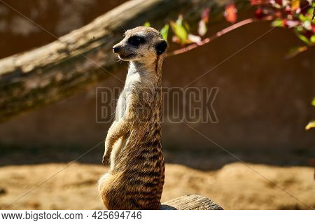 Small Brown Meerkat Stands And Looks Around. Protects The Territory From Enemies. Meerkat Rised On T