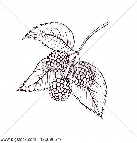 Blackberries Sketch, Berries, Leaves, Healthy Diet Illustration, Summer Forest Berry Line Art, Woodl