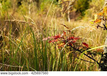 Oak Branch With Yellow And Brown Leaves In Green And Dry Grass. Autumn Leaves. Leaf Fall. Beautiful
