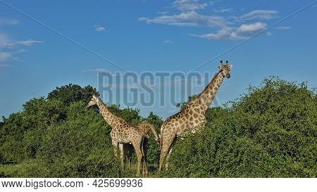 Giraffes Graze Among The Lush Green Bushes. Long Neck, Head With Horns Against A Blue Sky With Cloud