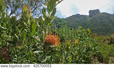 Bright Blooming Protea. Globular Orange Inflorescence With Long Stamens. Green Oval Leaves On Bush B