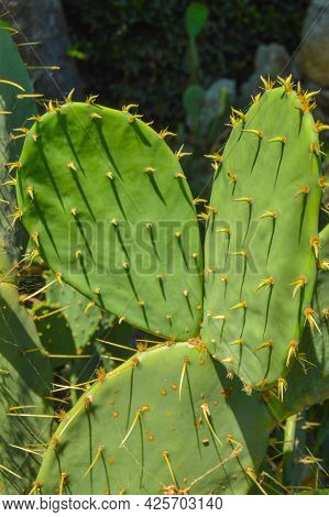 Prickly Pear Cactus With Ears, Growing In The Park, Outdoors, Vertical Frame.