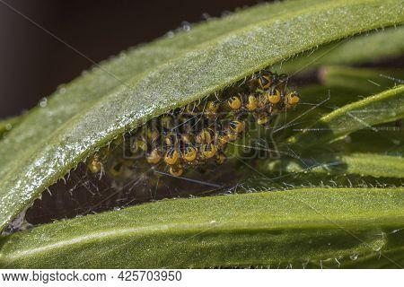 Cluster Of Baby Garden Spiders Under A Green Leaf.
