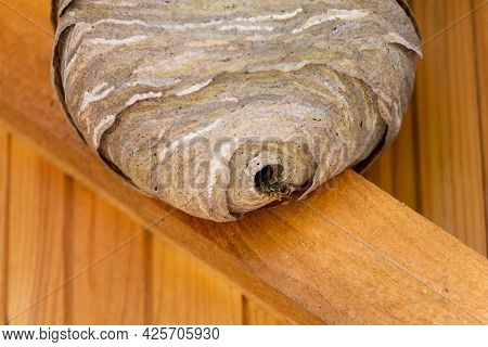 Wasp And Hornets Nest On A Yellow Wooden Wall Under The Ceiling Of The House. Fear Of Bees And Wasps